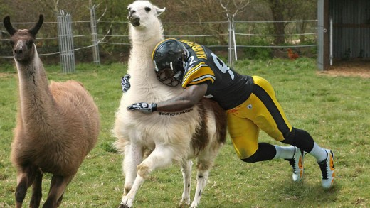 James Harrison Catches The Llama